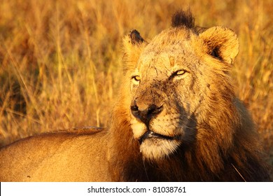 Dominant male lion in golden light