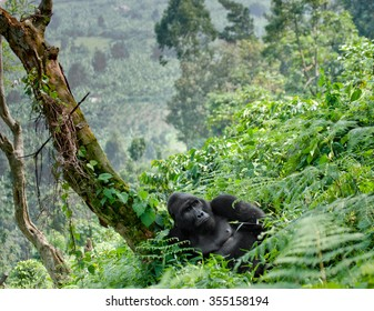 Dominant male mountain gorilla in the grass. Uganda. Bwindi Impenetrable Forest National Park