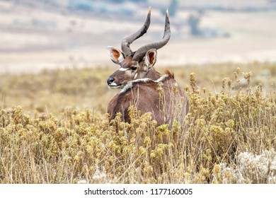 Dominant male Mountain Nyala in the Bale Mountains National Park in Ethiopia