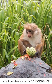Dominant Male Toque Macaque Monkey feeding on watermelon at roadside in Sri Lanka
