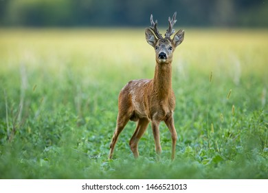 Dominant roe deer, capreolus capreolus, buck with massive antlers sniffing on green agricultural field in summer from low angle view with space for copy. Territorial strong male deer animal in nature