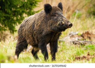 Dominant wild boar, sus scrofa, male sniffing with massive snout with white tusks on meadow. Majestic wild mammal standing on grass in spring from side view