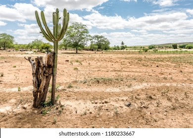 São Domingos do Cariri, Paraiba, Brazil - February, 2018: Landscape of Caatinga Biome with Mandacaru cactus at Northeast of Brazil
