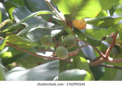 Dominican Almond tree with nuts Almond tropical fruit