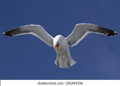 Dominican gull that screams and soars in the sky in Antarctica