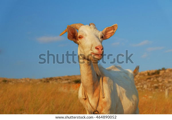 Domstic shegoat looking at camera in front of clear blue sky