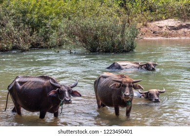 Don Det, Laos - April 22, 2018: Wild buffaloes in the waters of the Mekong river on the 4000 islands zone near Cambodian border