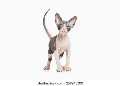 Sphynx Kitten Images, Stock Photos & Vectors   Shutterstock
