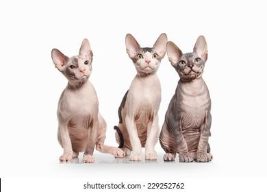Don sphynx kittens on white background