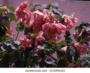 Dona Queen Sirikit Flower or Mussaenda philippica also called as  Donna Laz (pink), Alicia Luz (dark pink), Queen Siricket, Donna Aurora, Donna Envangellina, nerium oleander, ashanti blood