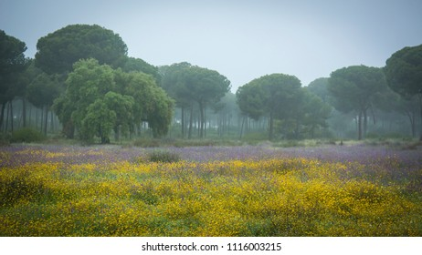 Donana National Park, Andalucia, Southern Spain. Wild flowers and pine tree landscape