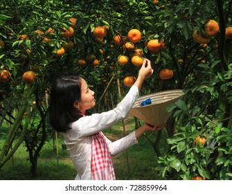 DONG THAP PROVINCE, VIETNAM - JAN 14: An unknown Vietnamese woman is picking tangerines on January 14, 2017 in Lai Vung, Dong Thap Province, Vietnam.