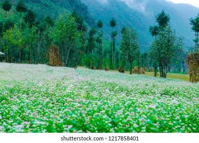 DONG VAN, HA GIANG, VIETNAM, October 27th, 2018: Hill of buckwheat flowers Ha Giang, Vietnam. Hagiang is a northernmost province in Vietnam