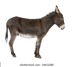 donkey ( 4 years) in front of a white background