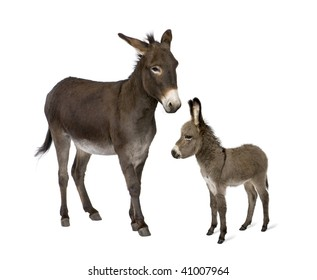 Donkey, 4 years old, and his foal, 2 months old, in front of white background