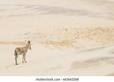 Donkey alone in the desert