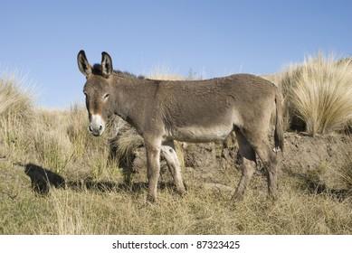 A donkey, ass or burro at Cordoba, Argentina. (Equus africanus asinus)