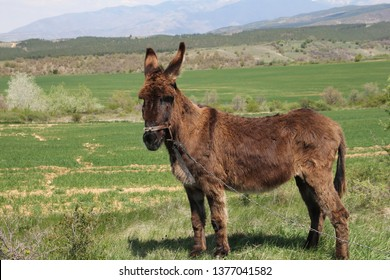Donkey. Bound and left in nature. On the background - a beautiful view of Rila Mountain
