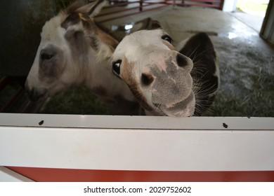 Donkey Close up Saying Hello