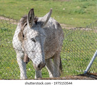 Donkey crestfallen looking behind an old barbed wire fence. Concept of freedom