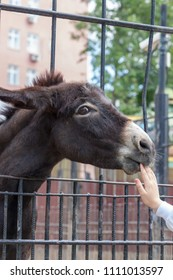 Donkey (Equus asinus) in the Moscow Zoo