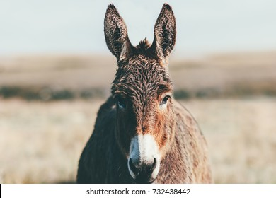 Donkey Farm Animal brown colour at prairie close up head (The donkey or ass, Equus africanus asinus is a domesticated member of the Equidae or horse family)