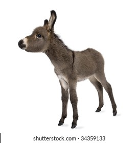donkey foal (2 months) in front of a white background