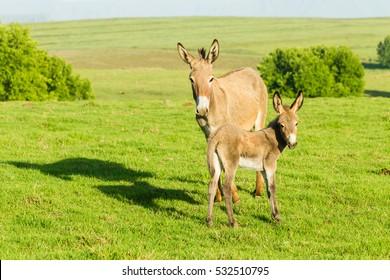Donkey Foal  Donkey with newborn foal farmlands summer mountains landscape.