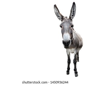 Donkey full length isolated on white. Funny gray donkey standing and looking into camera. Farm animals. Copy space