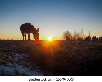 A donkey grazes in a field at sunset