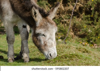A donkey grazes near Janesmoor Pond, New Forest National Park