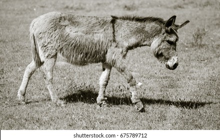A donkey grazes pasture in a field with grass