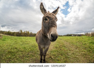 Donkey grazing on the field and looks at the camera