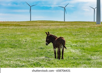 Donkey grazing in the shadow of windmills in the prairies of  Alberta Canada