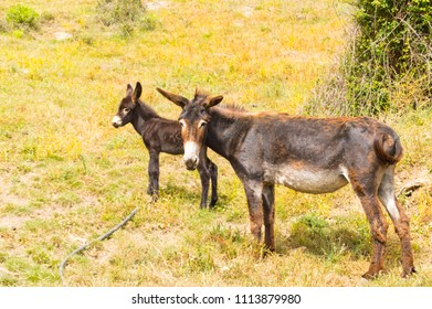 A donkey and her donkey in a meadow in the mountains of Sicily