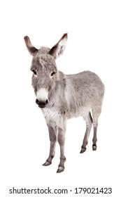Donkey isolated on the white background
