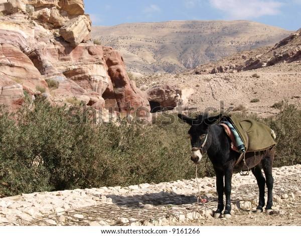 Donkey in Jordan