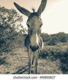 Donkey of Karpasia