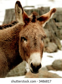 Donkey looking at camera