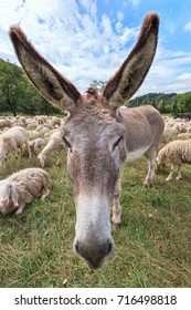 a donkey in the midst of a flock of sheep grazing in the meadow