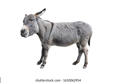 Donkey or mule full length isolated on white. Funny fluffy gray donkey standing and looking into camera. Farm animals. Side view