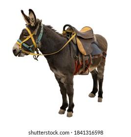 Donkey, mule with saddle resting, on white background
