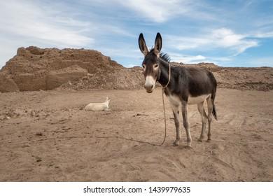 Donkey on an archeological site on Sai Island near Abri in Sudan