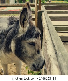 donkey on a farm. Head's leaning against the fence.