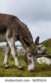 Donkey on a pasture (willow) in Connemara Ireland