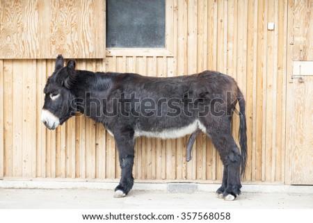 Dick like a mule