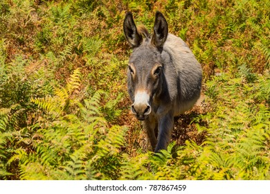 Donkey in the plateau Golgo in Sardinia