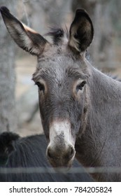 Donkey protecting the cattle