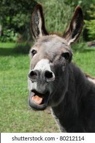 donkey shouting