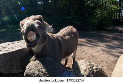 donkey shows teeth in the park